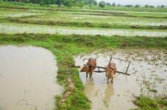 犁的母牛在位于Bago的稻田,缅甸 免版税库存照片