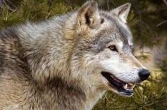 犬属水平的狼疮北美灰狼 图库摄影