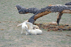 犬属灰色狼疮狼 免版税库存图片