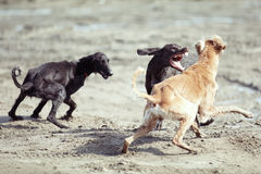 犬战 免版税库存照片