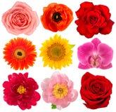 头状花序玫瑰色向日葵兰花牡丹gerber 库存照片