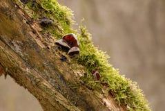 犹太人的耳朵蘑菇(耳状幼虫耳状报春花judae) 库存照片