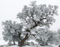 犹他杜松树(桧属osteosperma)在雪 免版税库存图片