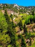 犹他落矶山脉杉木森林在早期的春天 库存照片