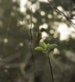 狂放上升了用早晨露水盖的叶子 库存照片