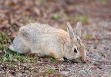 狂放兔子吃 图库摄影