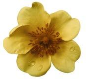 狂放在与裁减路线的白色被隔绝的背景上升了 没有影子 特写镜头 在一朵黄褐色花的露滴 库存图片