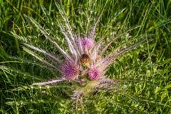 狂放外推花在黄石国家公园开花的草甸蓟 免版税库存图片