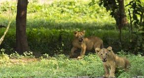 狂放幼小的幼狮 库存照片