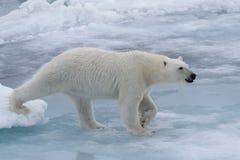 狂放极性在北极海涉及浮冰块 库存照片