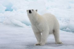 狂放极性在北极海涉及浮冰块 免版税库存图片