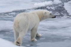 狂放极性在北极海涉及浮冰块 免版税图库摄影