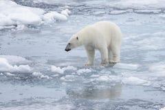 狂放极性在北极海涉及浮冰块 免版税库存照片