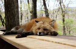 狂放狐狸睡觉 免版税库存图片