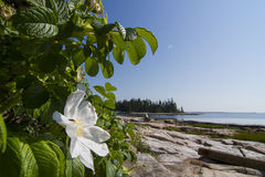 狂放玫瑰色和海洋 免版税库存照片