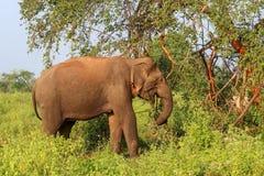狂放的亚洲大象在斯里兰卡,Udawalawe国立公园徒步旅行队 免版税库存图片