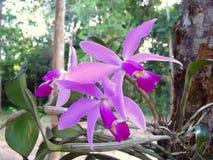 狂放的亚马逊紫色兰花Cattleya violacea在雨林里 免版税库存图片