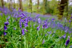 狂放的会开蓝色钟形花的草在英国森林地 免版税库存图片