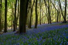 狂放的会开蓝色钟形花的草地毯在树中的在Ashridge,英国的木头 免版税库存照片