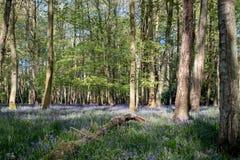 狂放的会开蓝色钟形花的草地毯在树中的在Ashridge,英国的木头 图库摄影