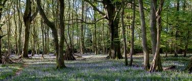 狂放的会开蓝色钟形花的草地毯在树中的在Ashridge,英国的木头 库存图片