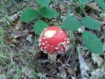 狂放的伞菌 库存图片