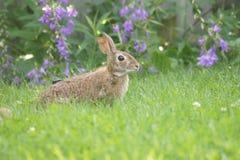 狂放的兔宝宝和会开蓝色钟形花的草 库存照片