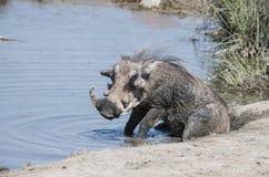 狂放的共同的Warthog & x28; 非洲野猪属africanu& x29;在水坑 免版税库存图片