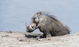 狂放的共同的Warthog & x28; 非洲野猪属africanu& x29;在水坑 库存照片