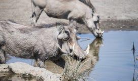 狂放的共同的Warthog & x28; 非洲野猪属africanu& x29;在水坑 免版税库存照片