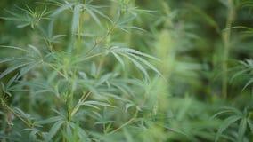 狂放的农业大麻在乡下增长 影视素材