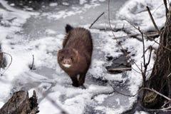 狂放的冬天貂皮 免版税库存图片