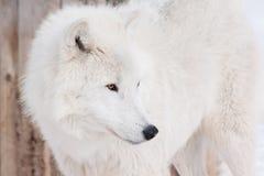 狂放的北极狼关闭 在野生生物的动物 极性狼或白狼 库存图片