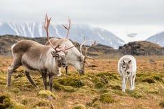 狂放的北极驯鹿家庭-斯瓦尔巴特群岛 免版税库存图片