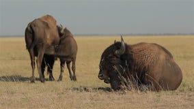 狂放的北美野牛家庭 股票视频