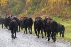 狂放的北美野牛牧群在雨中 免版税库存图片