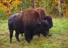 狂放的北美野牛身分 库存照片