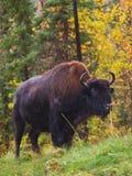狂放的北美野牛身分 免版税库存照片