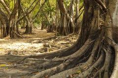 狂放的印度榕树根。 免版税库存照片