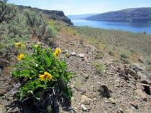 狂放的向日葵和哥伦比亚河峡谷 免版税库存照片