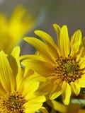 狂放的向日葵拷贝空间特写镜头  图库摄影