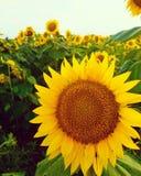 狂放的向日葵领域 免版税库存图片