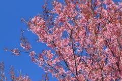 狂放的喜马拉雅樱桃或李属cerasoides 免版税库存图片