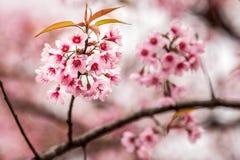 狂放的喜马拉雅樱桃李属cerasoides 图库摄影