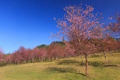 狂放的喜马拉雅樱桃花(泰国的佐仓或李属cerasoides)在Phu Lom Lo山, Loei,泰国,自然本底 免版税库存照片