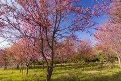 狂放的喜马拉雅樱桃花(泰国的佐仓或李属cerasoides)在Phu Lom Lo山, Loei,泰国 免版税图库摄影