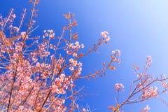 狂放的喜马拉雅樱桃花(泰国的佐仓或李属cerasoides)在Phu Lom Lo山, Loei,泰国 免版税库存照片