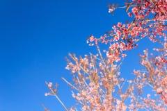 狂放的喜马拉雅樱桃花(泰国的佐仓或李属cerasoides)在Phu Lom Lo山, Loei,泰国 库存照片