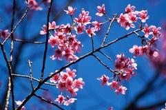 狂放的喜马拉雅樱桃花 免版税库存图片