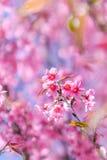 狂放的喜马拉雅樱桃花 免版税库存照片